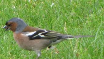 oiseaux, pinson,
