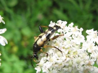 insectes, entomologie, jean-henri favre,