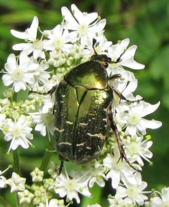insectes, cétoine dorée, coléoptère,