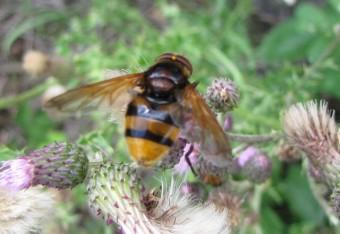 insectes, volucelle, jean-henri favre,