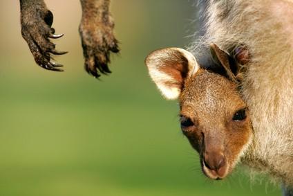 kangourous,