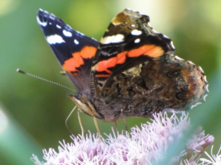papillons,