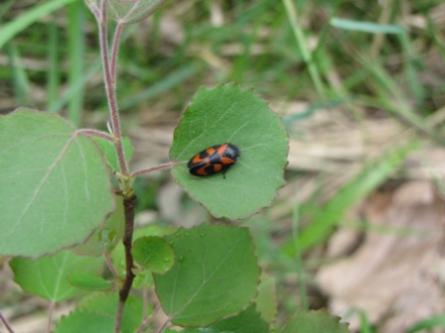 insectes, cercopes,