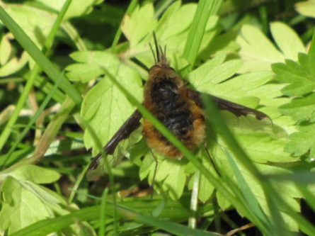 bombyle, mouches, insectes,