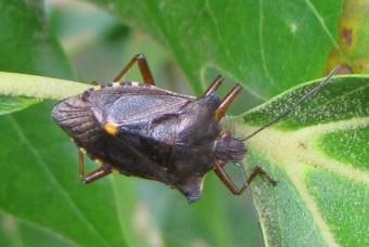 100820 Pentatoma Rufipes 1.jpg