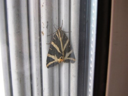 papillons, insectes,
