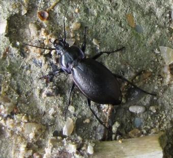 insectes, entomologie, carabe,